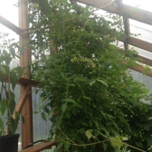 Lång tomat