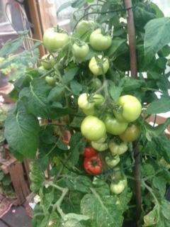 Tomat knubbig